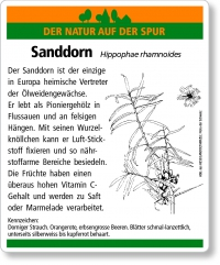 D34 Sanddorn