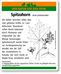 D39 Spitzahorn