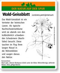 D60 Wald-Geissblatt
