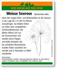 E32 Weisse Seerose