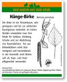 D19 Hänge-Birke