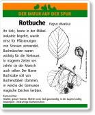 D30 Rotbuche