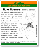 D32 Roter Holunder