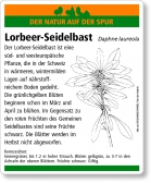 D91 Lorbeer-Seidelbast