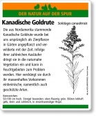 E28 Kanadische Goldrute