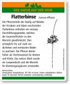 E42 Flatterbinse