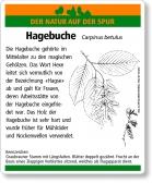 D18 Hagebuche