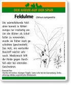 D53 Feldulme