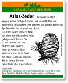 D89 Atlas-Zeder