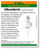 E18 Gemeiner Gilbweiderich