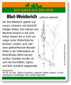 E49 Blut-Weiderich