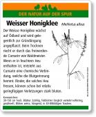 E51 Weisser Honigklee