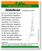 E07 Zimbelkraut